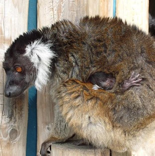 A rare black lemur has been born at Drusillas Park in East Sussex (Drusillas Park/PA)