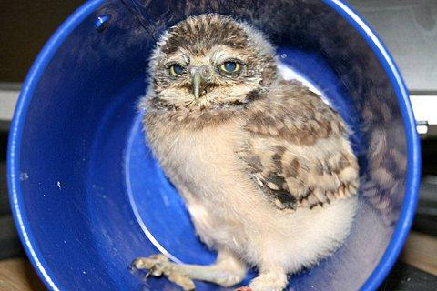 Little Dobby the Burrowing Owl