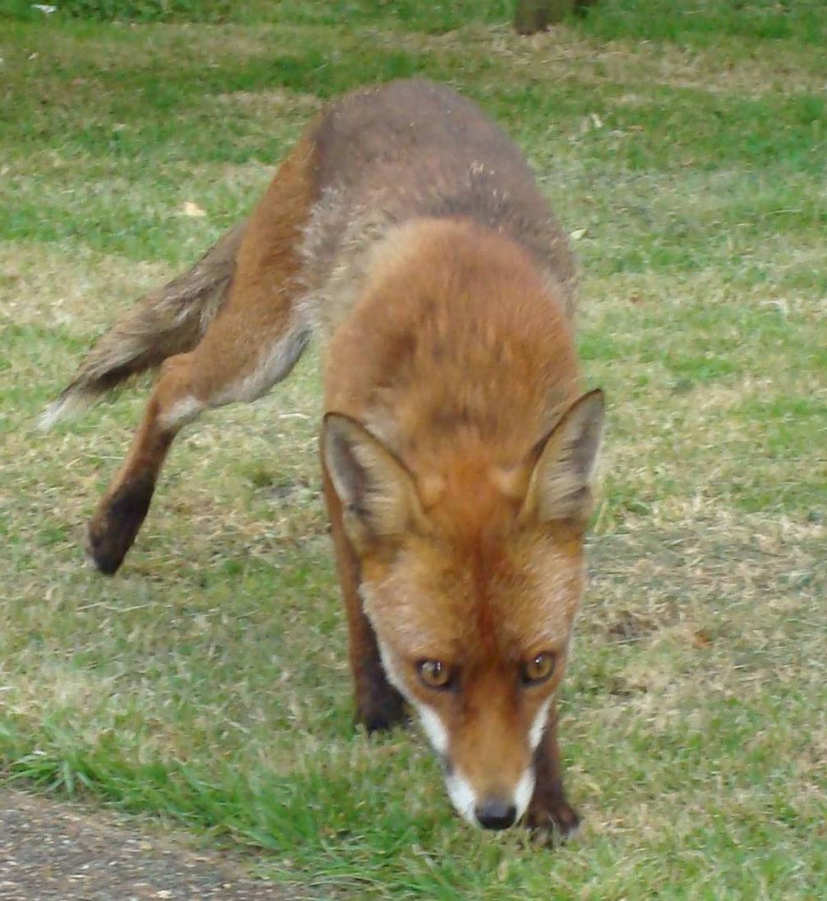 A fox hid under the woman's bed while she was watering plants in her garden