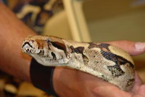 Stock image of a boa constrictor. Picture: Elvis Santana/freeimages.com